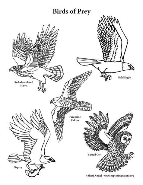 Birds Of Prey Vertical View Coloring Nature Birds Of Prey Coloring Pages