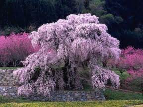 japanese cherry blossom tree 236 best images about cherry blossom tree on pinterest