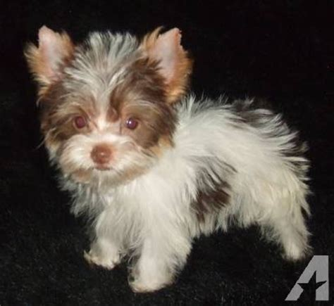 chocolate parti yorkie drew chocolate white parti yorkie pup pet only for sale in concordia lake