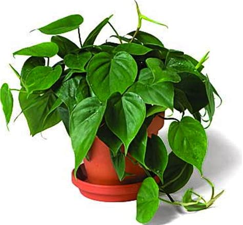 climbing house plants more plants of arnold zwicky s