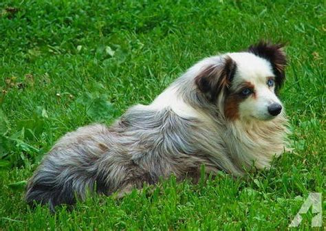 australian shepherd puppies for sale in iowa mini australian shepherd puppies for sale orange county breeds picture