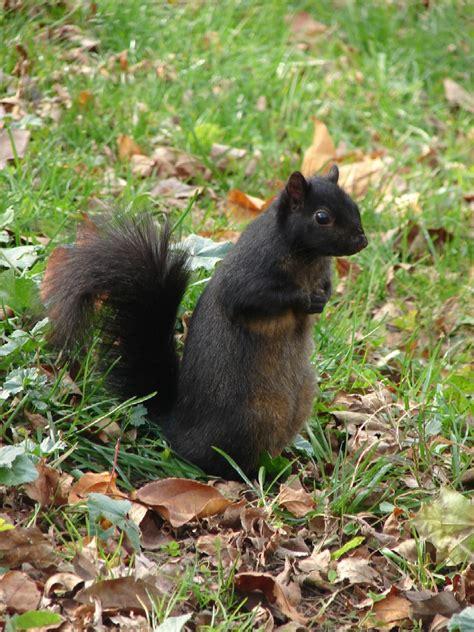 Black Squirrels Of Inwood My Inwood Black Squirrel