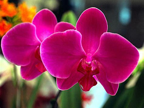 imagenes de rosas orquideas flores del mundo la orqu 237 dea la flor m 225 s bella del