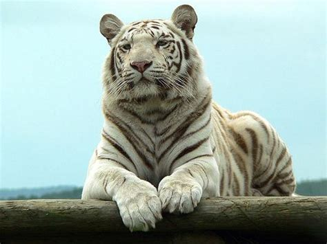 imagenes de tigres cool fotos de tigres blancos pureza y fiereza