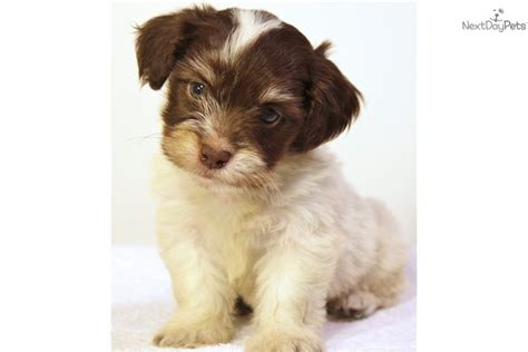 havanese puppies bay area akc meet the breeds havanese breeds picture