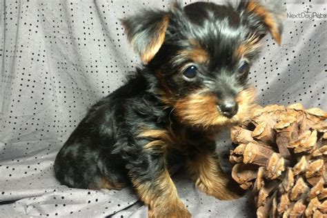 yorkie puppies ct tyson terrier yorkie puppy for sale near hartford connecticut 417efce8