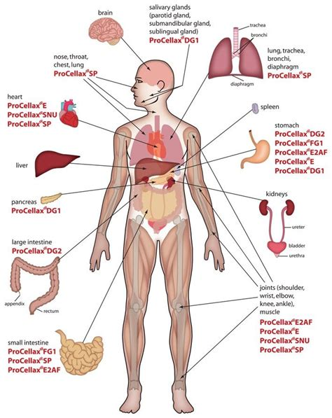 diagram of human organs in the anatomy of the human organ diagram diagram