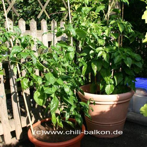 Chili Balkon by Chili Und Paprika Im K 252 Bel Anbauen