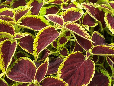new coleus varieties bing images