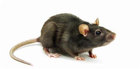 jasa pembasmi tikus di jakarta fumida