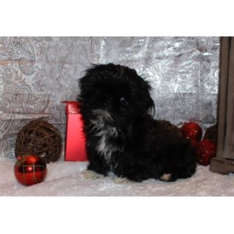 washington shih tzu breeders elegance shih tzu shih tzu breeder in ellensburg washington listing id 24937