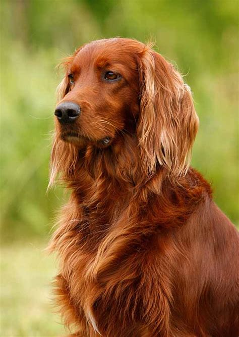 irish setter dog celtic dog names for irish setters wolfhounds or any breed