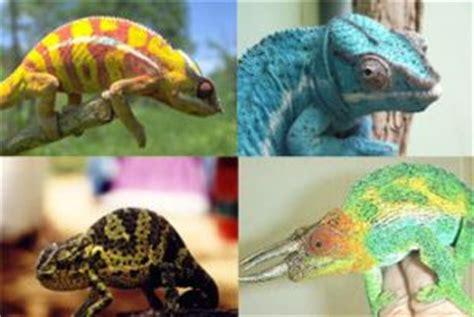 why do chameleons change color