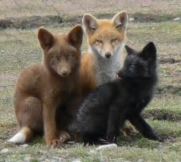 what color are foxes all about the fox welcome wildlife