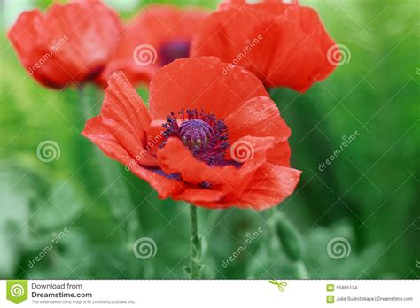 red poppy flower or papaver on the meadow symbol of remembrance day or poppy day stock photo
