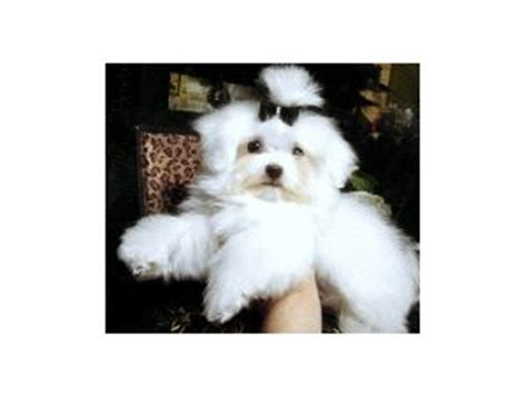maltipoo puppies for sale nc maltipoo puppies for sale in nc