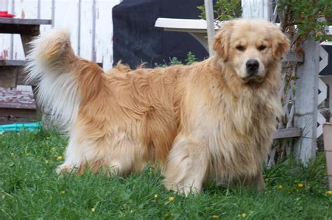 top golden retriever breeders in the us golden retriever puppies for sale in western montana