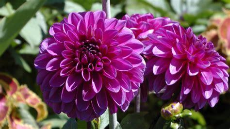 imagenes flores moradas flores moradas im 225 genes y fotos