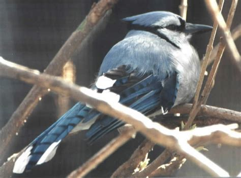backyard birds salt lake city blue jay