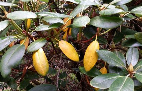 Pflanzen Im März by Magnolie Krankheiten Magnolie Verliert Bl Tter Ursachen