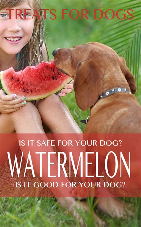 can dogs eat watermellon can dogs eat watermelon is watermelon for your lab