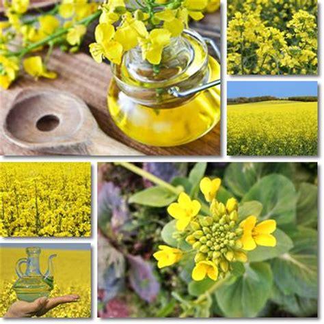 olio colza alimentare propriet 224 e benefici olio di colza vitamine proteine
