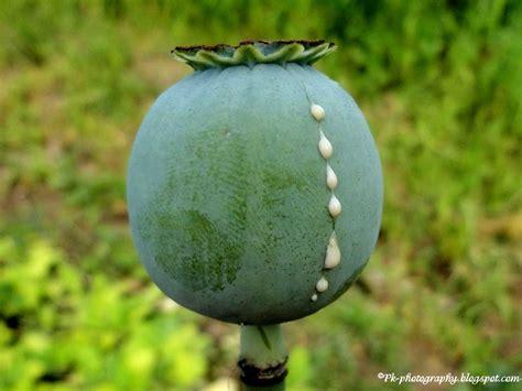 Poppy Seed Tea Detox Site Drugs Forum by Image Gallery Opium Poppy Pod