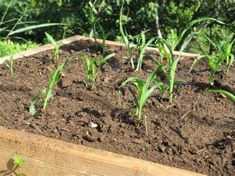 Growing Corn In Raised Beds by Island Breath Organic Corn Breakout