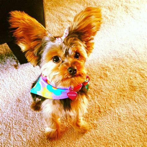 yorkie tipped ears 394 best images about my cairn terrier best friend the yorkie on