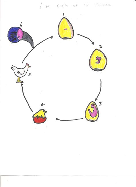 cycle of a chicken cycle