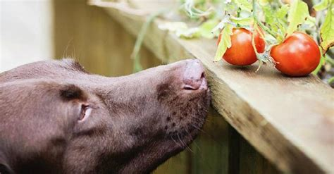 can dogs tomatos can my eat that a definitive guide to foods dogs can and can t certapet