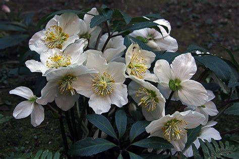 rosa d inverno fiore ellebroro o rosa d inverno e questa e chiamata rosa d