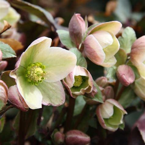 lenten rose hellebores garden pinterest