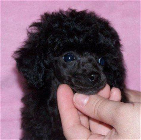 black poodle puppy black poodle wallpaper black poodle puppies pjhm16cr poodles