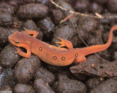 Immagini Di foto salamandre per sfondi pc settemuse it