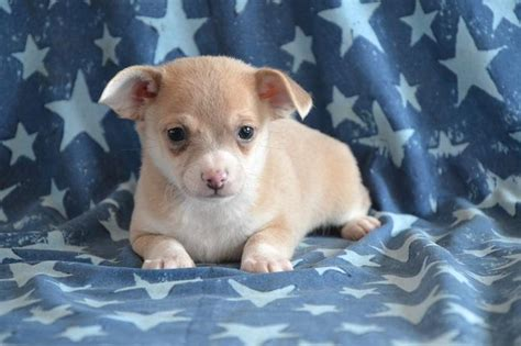 craigslist chihuahua puppies for sale curious chihuahua pups puppyindex