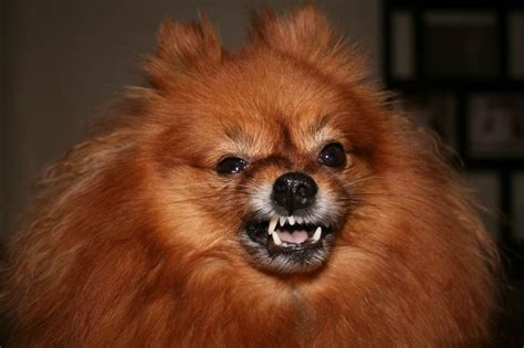 pomeranian attack the 16 grumpiest dogs on the rover