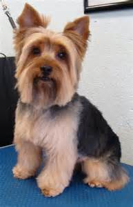 hairstyle for terrier yorkie haircuts bo haircut with pattern yorkees