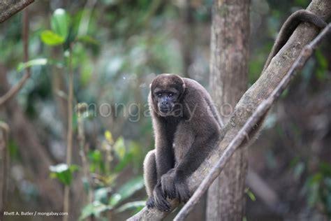 Diaporama de la forêt amazonienne: Singe laineux en Colombie
