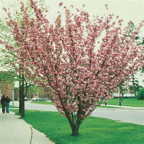 ornamental flowering cherry japanese flowering cherry
