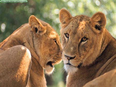 imagenes leones selva los leones los reyes de la selva taringa