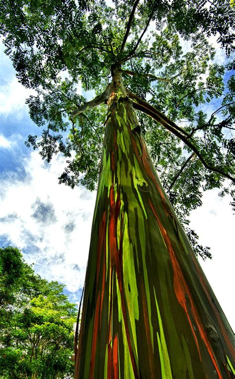 200 best eucalyptus images on pinterest beautiful