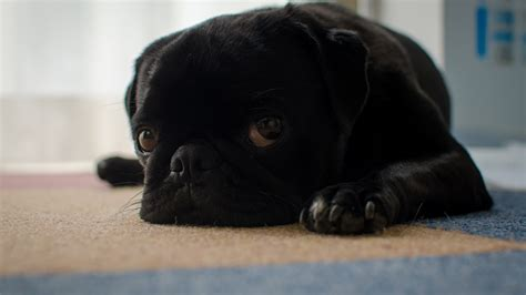 sad pug puppy black pug puppy sad lying on the floor wallpapers and images wallpapers pictures
