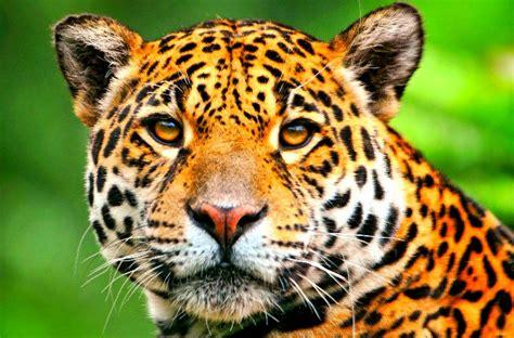 Suplemen Jaguar jaguar scientific tour mexico ecocolors tours mexico