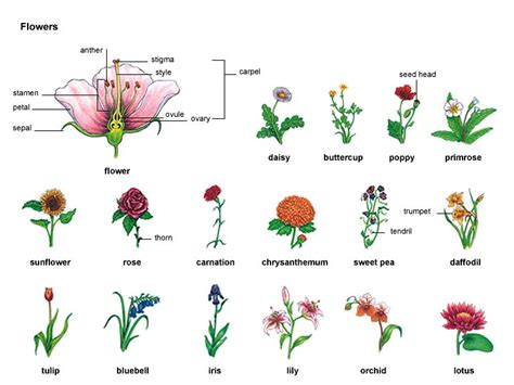 flower 1 noun definition pictures pronunciation and