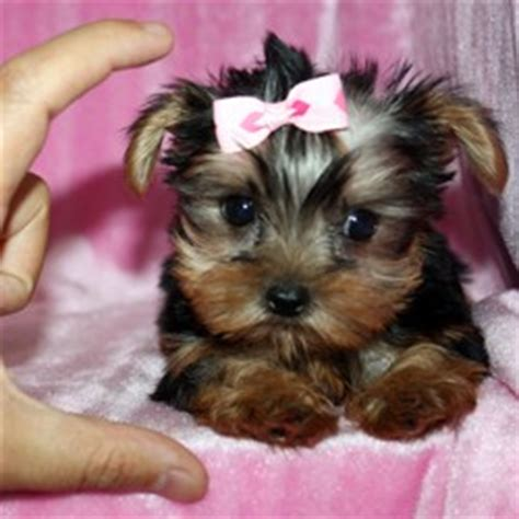 teacup yorkie puppies san antonio dogs san antonio tx free classified ads