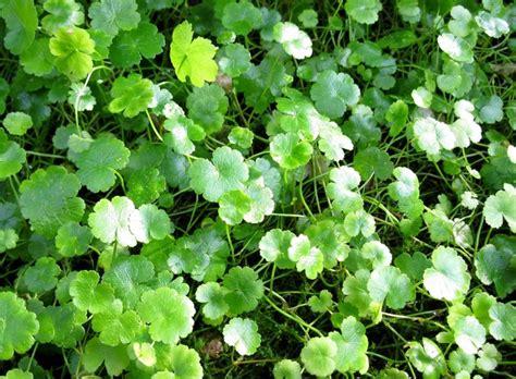 Tanaman Rambat Nona Makan Silih Pohon Rambat Nona Makan Sirih daftar nama ilmiah tumbuhan tanaman bibitbunga