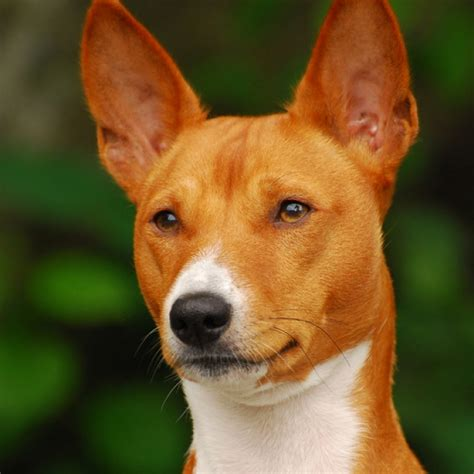 oldest breed basenjis are one of the oldest breeds on earth and yodel instead of bark they