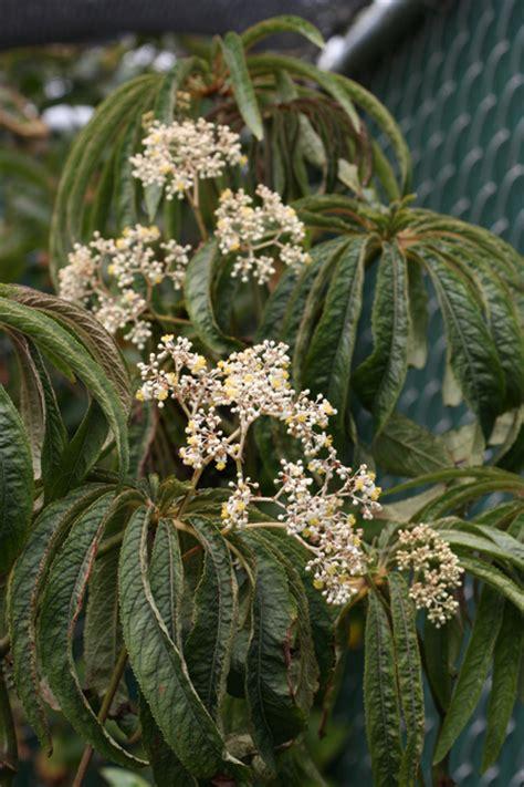 begonia luxurians buy online at annie s annuals