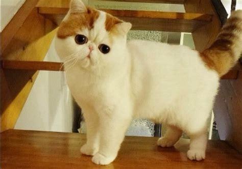 gato pelo corto te descubrimos la raza de gato ex 211 tico de pelo corto wakyma